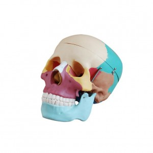 Skull with Colored Bones Joint Model Medical Anatomy XC-104C